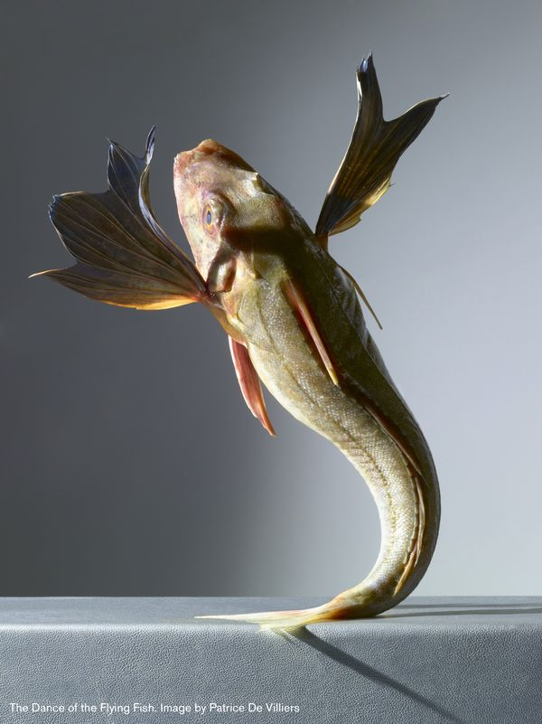 Patrice de Villiers - Dansul peștelui zburător